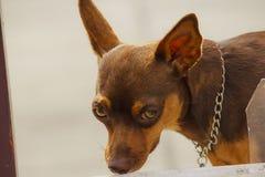 Ögon bryner hunden som ser något som intresserar royaltyfri foto