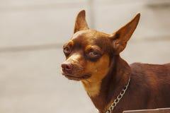 Ögon bryner hunden som ser något som intresserar arkivbilder