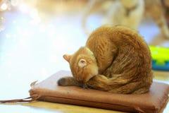 Ögon e för rolig framsida för katt eller för kattunge för amerikansk shorthair förvånade stora royaltyfri bild