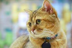 Ögon e för rolig framsida för katt eller för kattunge för amerikansk shorthair förvånade stora royaltyfri foto
