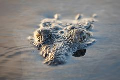 Ögon för amerikansk krokodil på yttersida av lagun arkivfoton