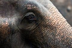 Ögon för asiatisk elefant royaltyfri fotografi