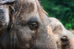 Ögon för asiatisk elefant arkivbild