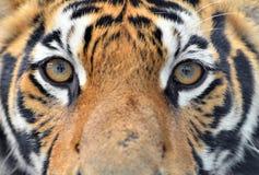 Ögon för Bengal tiger Royaltyfria Bilder