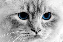 Ögon för blå katt stänger sig upp detaljen Arkivbilder