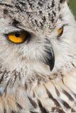 Ögon för Eagle uggla arkivbilder