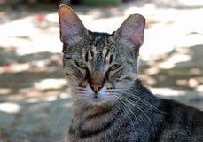 Ögon för en katt för grå färger unga arkivbilder