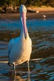 Ögon för färg för detalj för stående för Male fågel för pelikan fulla   royaltyfri fotografi