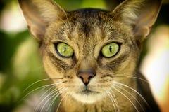 Ögon för Feliscatusnärbild är stora och härliga fotografering för bildbyråer