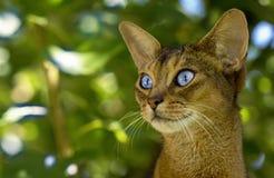 Ögon för Feliscatusnärbild är stora och härliga royaltyfria foton