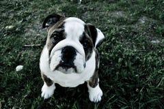 Ögon för fransk bulldogg för valphund arkivfoton