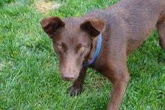 Ögon för gul hund royaltyfri foto