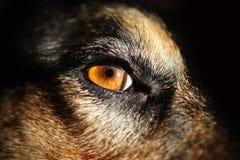 Ögon för gul hund - närbild arkivbild