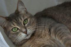 Ögon för härlig grå katt för stående gröna fotografering för bildbyråer