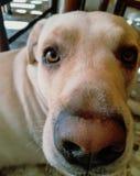 Ögon för hund` s arkivbilder