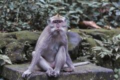Ögon för Macaqueapa har en epression av sorgsenhet arkivbild