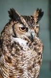 Ögon för orsnge för Eagle uggla royaltyfri bild