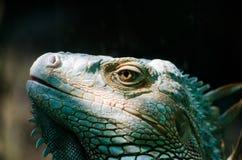 Ögon för ` s för leguan för solljussken gröna royaltyfri bild