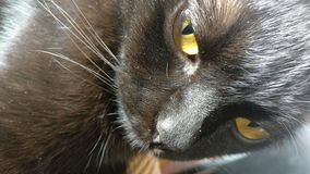 Ögon för ` s för svart katt royaltyfri fotografi