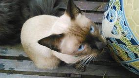Ögon för Siamese katt Arkivbilder