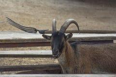 Ögon, horn och högaffel - en stående av en get Hadjidimovo Bulgarien royaltyfria foton