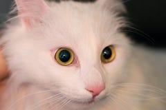Ögon och framsida av en turkisk angora- katt royaltyfri fotografi