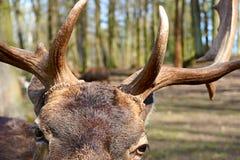 Ögon och horn på kronhjort royaltyfri bild