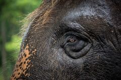 Ögon och hudmodeller av elefanter arkivfoto