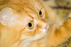 Ögon och näsa av den röda kattcloseupen arkivbilder