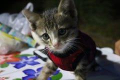 Ögon och thailändsk kattunge för framsida en, små gulliga, randiga och härliga färger för kropp, arkivbild
