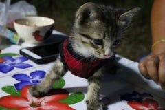 Ögon och thailändsk kattunge för framsida en, små gulliga, randiga och härliga färger för kropp, arkivfoton