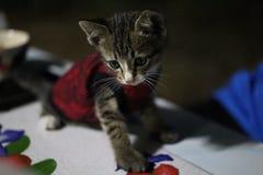 Ögon och thailändsk kattunge för framsida en, små gulliga, randiga och härliga färger för kropp, royaltyfri fotografi