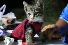 Ögon och thailändsk kattunge för framsida en, små gulliga, randiga och härliga färger för kropp, fotografering för bildbyråer