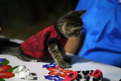 Ögon och thailändsk kattunge för framsida en, små gulliga, randiga och härliga färger för kropp, royaltyfri foto