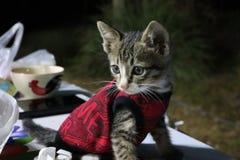 Ögon och thailändsk kattunge för framsida en, små gulliga, randiga och härliga färger för kropp, royaltyfria foton