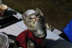 Ögon och thailändsk kattunge för framsida en, små gulliga, randiga och härliga färger för kropp, arkivfoto