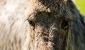 Ögon på en åsnas huvud i den öppna luften Arkivfoto