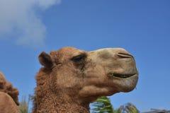 Ögon som stängs på en Bactrian kamel på en härlig dag royaltyfri foto