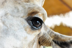 Ögon stänger sig upp av giraff Fotografering för Bildbyråer