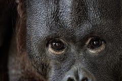 Ögon stänger sig upp ståenden av en orangutangapaapa fotografering för bildbyråer