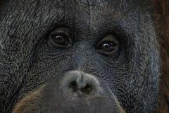Ögon stänger sig upp ståenden av en orangutangapaapa arkivfoton