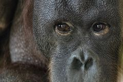 Ögon stänger sig upp ståenden av en orangutangapaapa arkivbilder