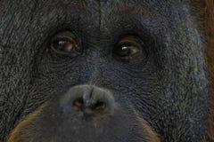 Ögon stänger sig upp ståenden av en orangutangapaapa royaltyfria foton