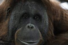 Ögon stänger sig upp ståenden av en orangutangapaapa royaltyfri foto