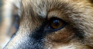 Ögonen av den röda räven Arkivfoto
