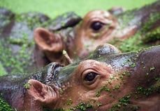Ögonen av flodhästen arkivfoto