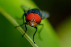 Ögonfluga Arkivfoton