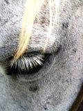 Ögonfrans av hästen arkivfoto