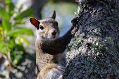 Ögonkontakt med ekorren för östliga grå färger Royaltyfri Fotografi