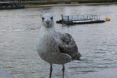 Ögonkontakt med Seagulls arkivfoto